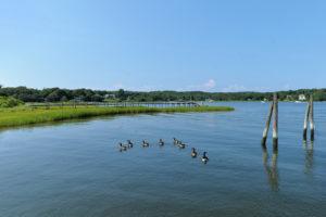 Ducks swimming on Shelter Island